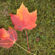 Two Maple Leaves on Grass — Stock Photo