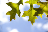 Oak Leaf with Sky — Stock Photo
