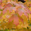 Maple Leaves — Stock Photo #1937431