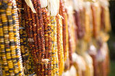 Indian Corn Perspective — Stock Photo