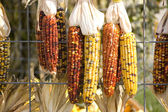 Indian Corn on Fence — Stock Photo