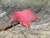 Maple leaf on Stump — Stock Photo