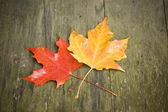 Orange and Yellow Maple — Stock Photo