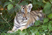 Amur tiger cub — Stock Photo