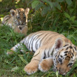 Sumatran tiger cubs - Stock Photo