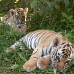 Sumatran tiger cubs — Stock Photo #1887367