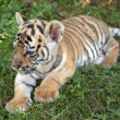 Sumatran tiger cub — Stock Photo #1887382