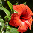 Hibiscus — Stock Photo #1887493