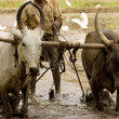 Stock Photo: Water buffalo ploughing field
