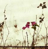 Pink bougainvillea on bleach — Stock Photo