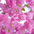 Royalty-Free Stock Photo: Sunlight pink bougainvillea