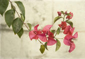 Bougainvillea on grey wall — Stock Photo
