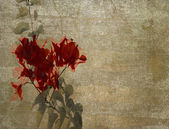 Red bougainvillea on cloudy plaster — Stock Photo