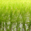Rice paddy field background - Stock Photo