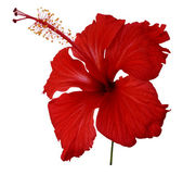 Red hibiscus flower on white — Stock Photo