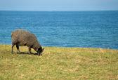 Sheep eating grass — Stock Photo