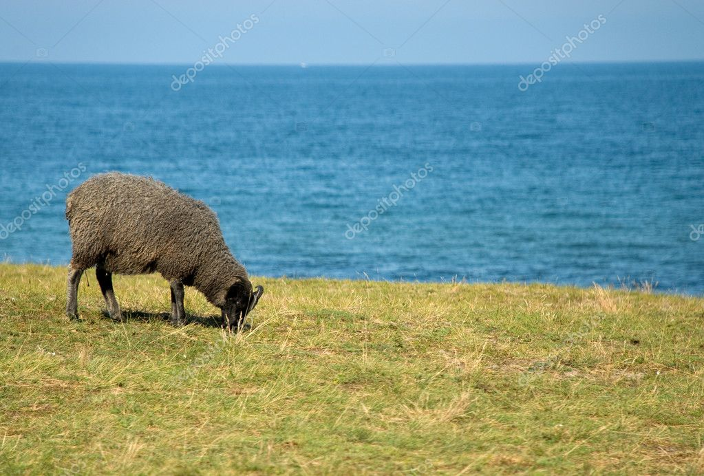 Sheep eating grass with blue ocean — Stock Photo #2410654