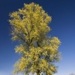 Lonetree — Stockfoto #1939936