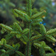 Christmas tree branches — Stock Photo #2023472