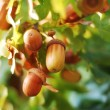 Acorns — Stock Photo #1886744