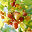 Acorns — Stock Photo #1886917