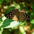 Butterfly — Stock Photo #1987736