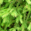 Fir branches — Stock Photo #2019793