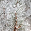Fir in snow - Stock Photo