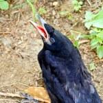 Crow — Stock Photo