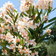 Light orange oleander flower — Stock Photo