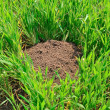 Royalty-Free Stock Photo: A mole\'s hole on a field.