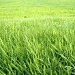 Green grass background. — Stock Photo #1897516
