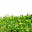 Green grass. Isolated — Stock Photo