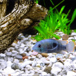 Aquarium Fish dwarf Cichlid(Apistogramma nijsseni) - Stock Photo