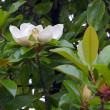Dismissed flower of magnolia, in subtropical climate — Stock Photo #1898556