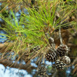 Pine branch with cones. Focus on cones. - Stock Photo