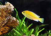 Aquarium Fish- Cichlid Hummingbird Yellow.(Labidochromis caeruleus) — Stock Photo