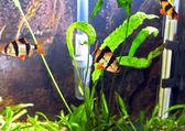Shoal of aquarium fish-Barbus-five-banded barb. (Barbus pentazona) — Stock Photo