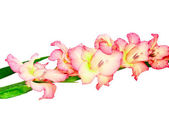 Pink gladiolus . Isolated on white. — Stock Photo