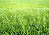 Green grass background. — Stock Photo