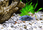 Aquarium Fish dwarf Cichlid(Apistogramma nijsseni) — Stock Photo