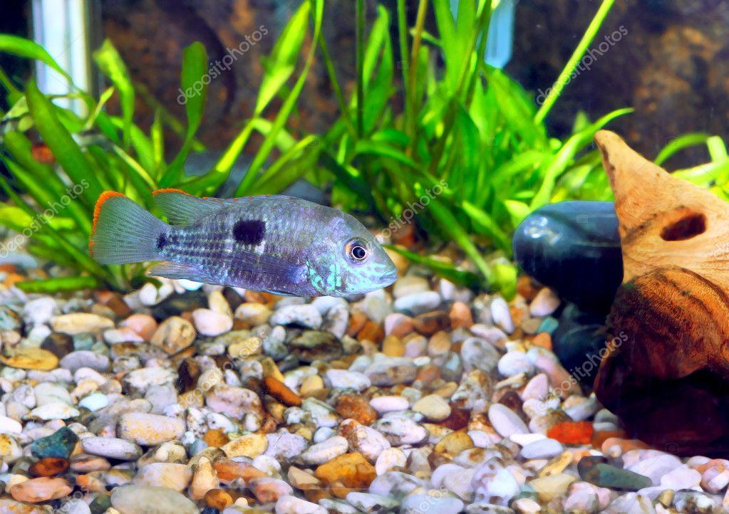 ... fish-Barbus-five-banded barb. (Barbus pentazona) - Stock Image