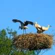 Stork family at nest — Stock Photo
