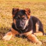 Ritratto di un cane che posa sull'erba — Foto Stock