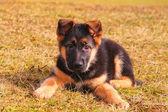 一条狗躺在草地上的肖像 — 图库照片