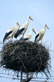 Stork family in the nest — Stock Photo