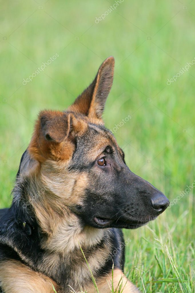 Portrait of a german shepherd puppy dog  Stock Photo #1888887
