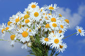 Camomile bouquet — Stock Photo
