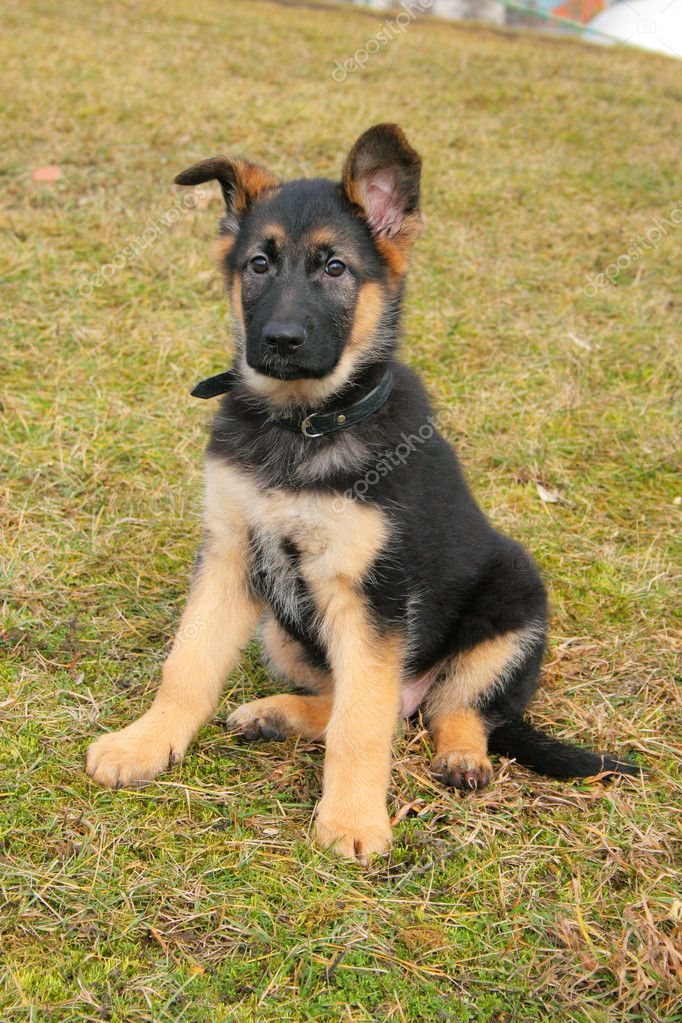 Portrait of a german shepherd puppy  Stock Photo #1932331