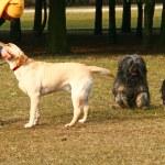 ragazza con cani — Foto Stock